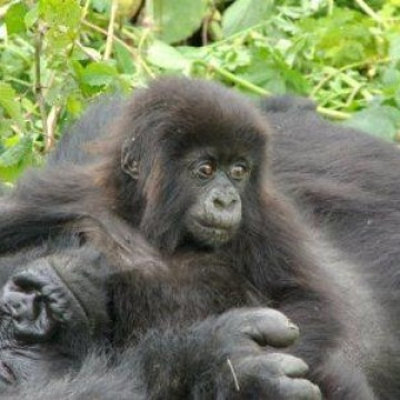 11 Days Gorilla tracking Uganda, Selous & ZNZ