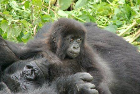 11 Days Gorilla tracking Uganda, Selous & ZNZ 1